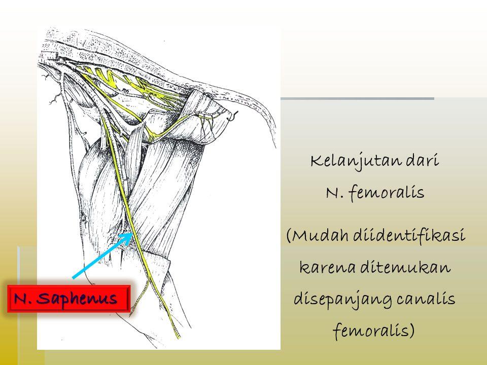 Kelanjutan dari N. femoralis