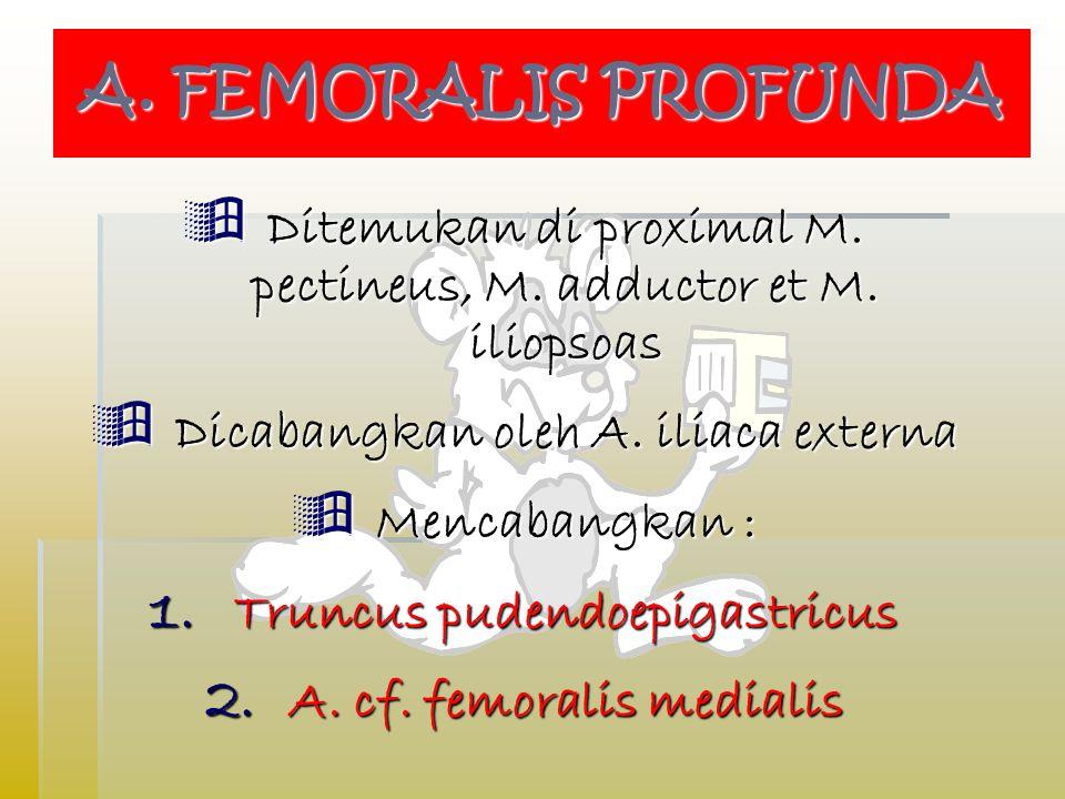A. FEMORALIS PROFUNDA Ditemukan di proximal M. pectineus, M. adductor et M. iliopsoas. Dicabangkan oleh A. iliaca externa.
