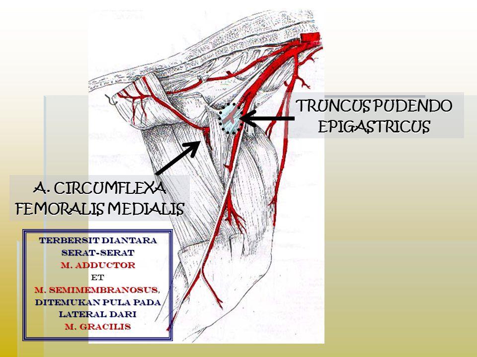 TRUNCUS PUDENDO EPIGASTRICUS A. CIRCUMFLEXA FEMORALIS MEDIALIS