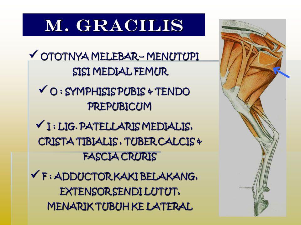 M. GRACILIS OTOTNYA MELEBAR – MENUTUPI SISI MEDIAL FEMUR