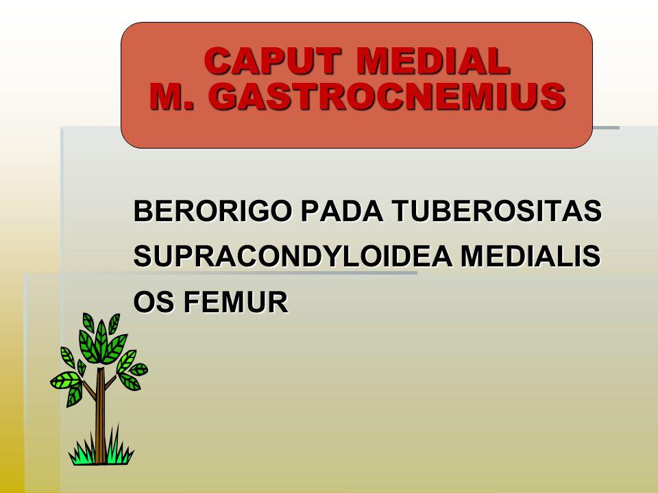 CAPUT MEDIAL M. GASTROCNEMIUS