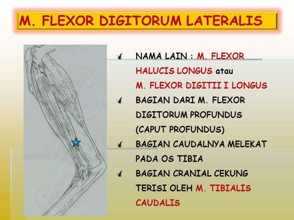 M. FLEXOR DIGITORUM LATERALIS