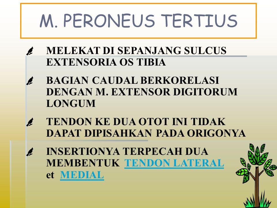 M. PERONEUS TERTIUS MELEKAT DI SEPANJANG SULCUS EXTENSORIA OS TIBIA