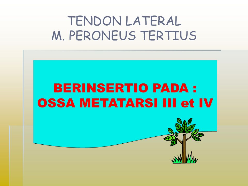 TENDON LATERAL M. PERONEUS TERTIUS