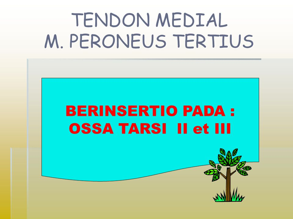 TENDON MEDIAL M. PERONEUS TERTIUS