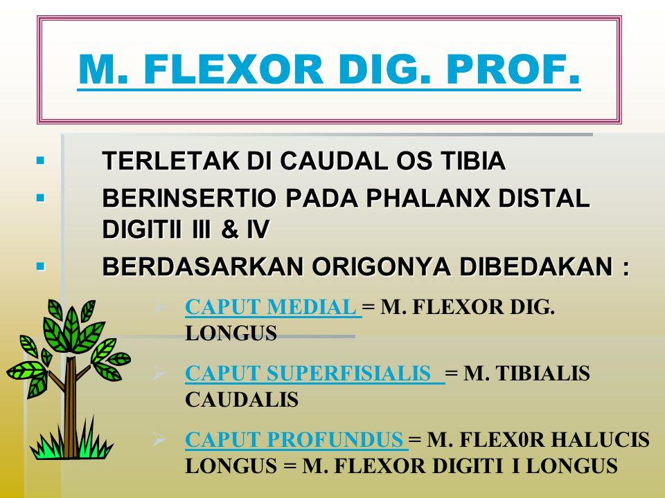 M. FLEXOR DIG. PROF. TERLETAK DI CAUDAL OS TIBIA