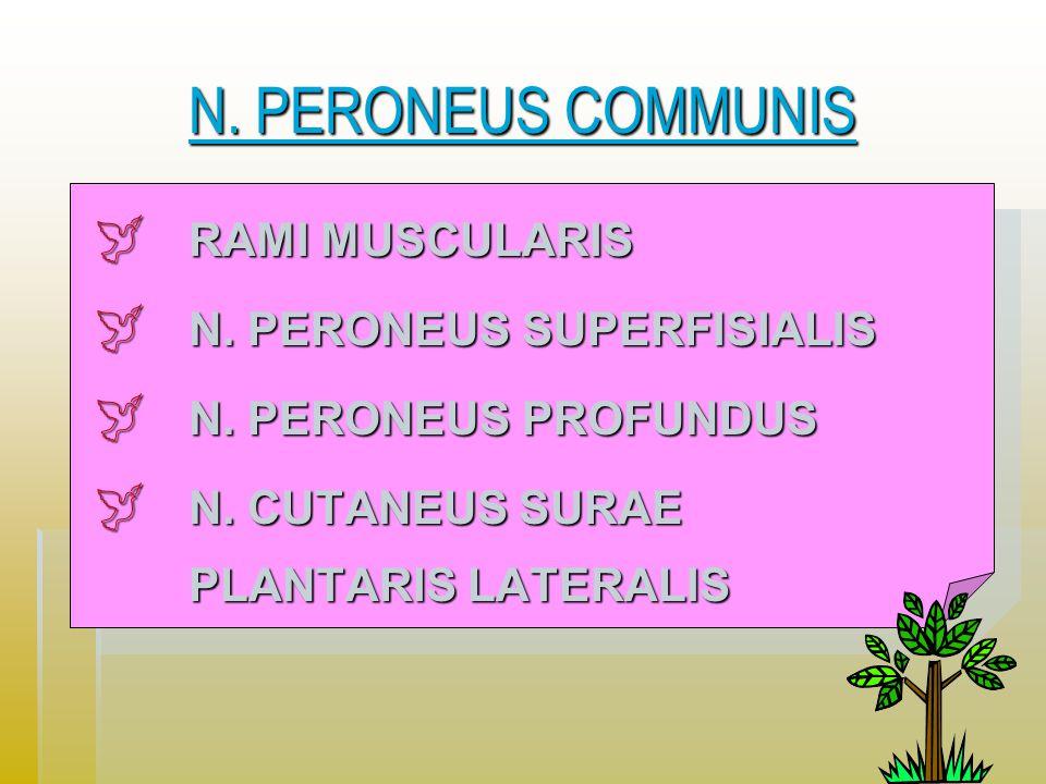 N. PERONEUS COMMUNIS RAMI MUSCULARIS N. PERONEUS SUPERFISIALIS
