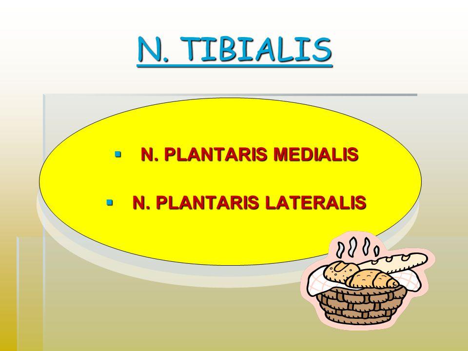 N. TIBIALIS N. PLANTARIS MEDIALIS N. PLANTARIS LATERALIS