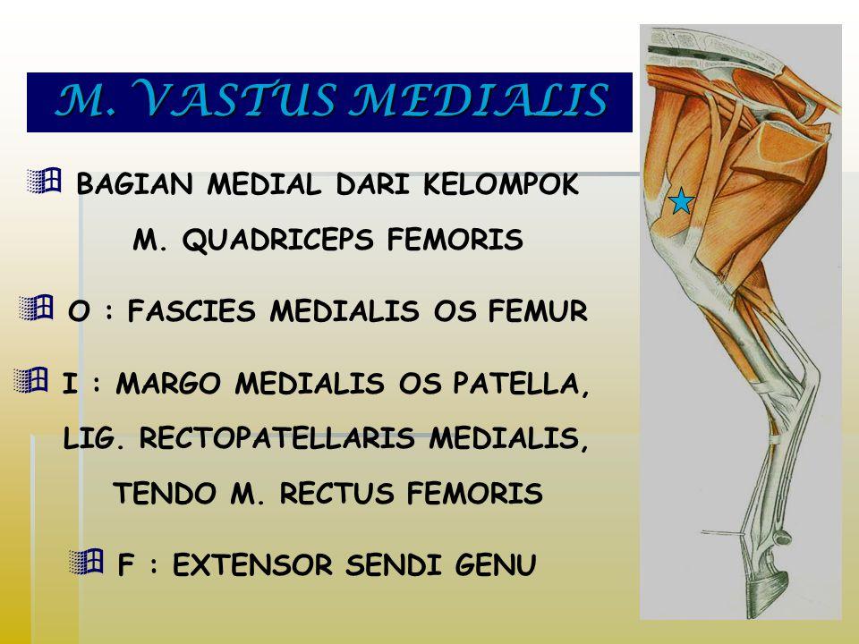 M. VASTUS MEDIALIS BAGIAN MEDIAL DARI KELOMPOK M. QUADRICEPS FEMORIS