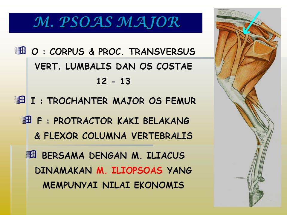 M. PSOAS MAJOR O : CORPUS & PROC. TRANSVERSUS VERT. LUMBALIS DAN OS COSTAE 12 - 13. I : TROCHANTER MAJOR OS FEMUR.