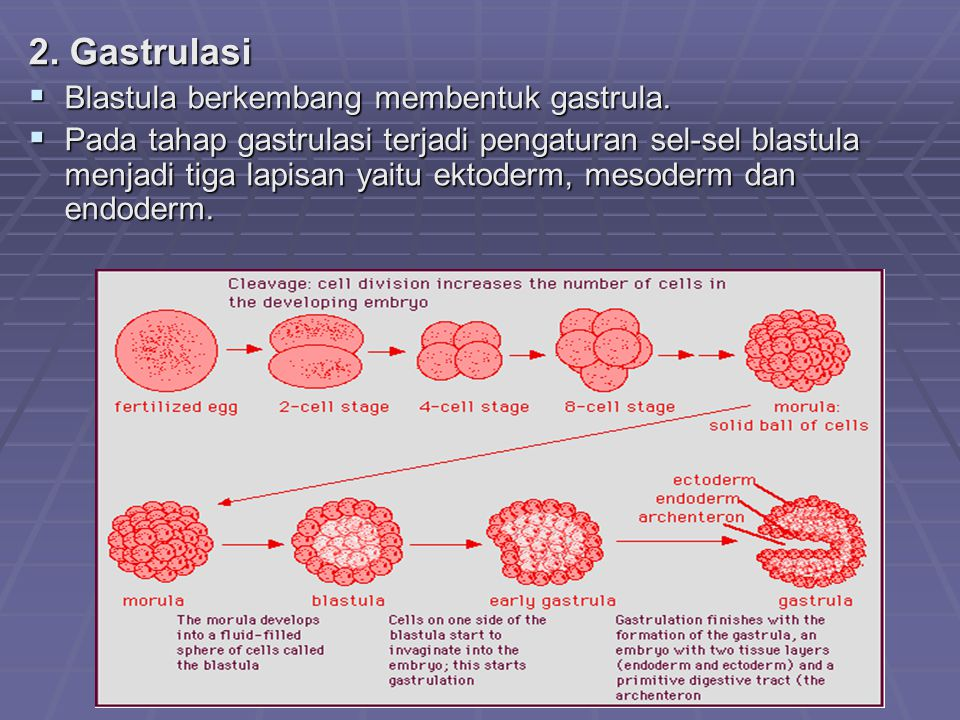 2. Gastrulasi Blastula berkembang membentuk gastrula.