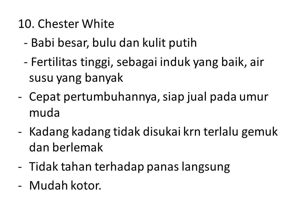 10. Chester White - Babi besar, bulu dan kulit putih. - Fertilitas tinggi, sebagai induk yang baik, air susu yang banyak.