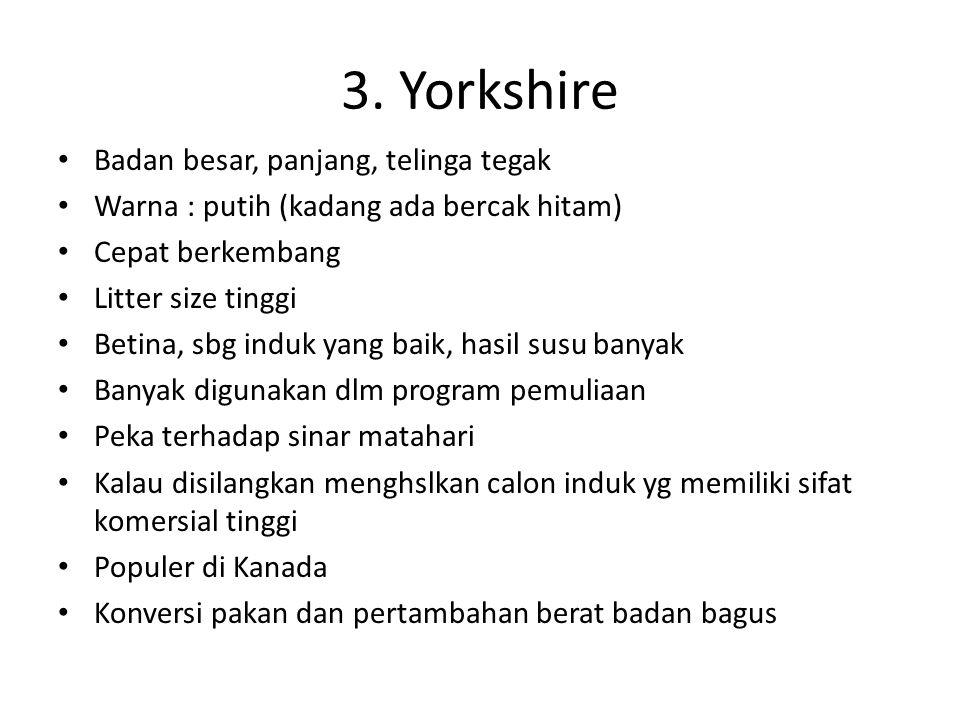 3. Yorkshire Badan besar, panjang, telinga tegak