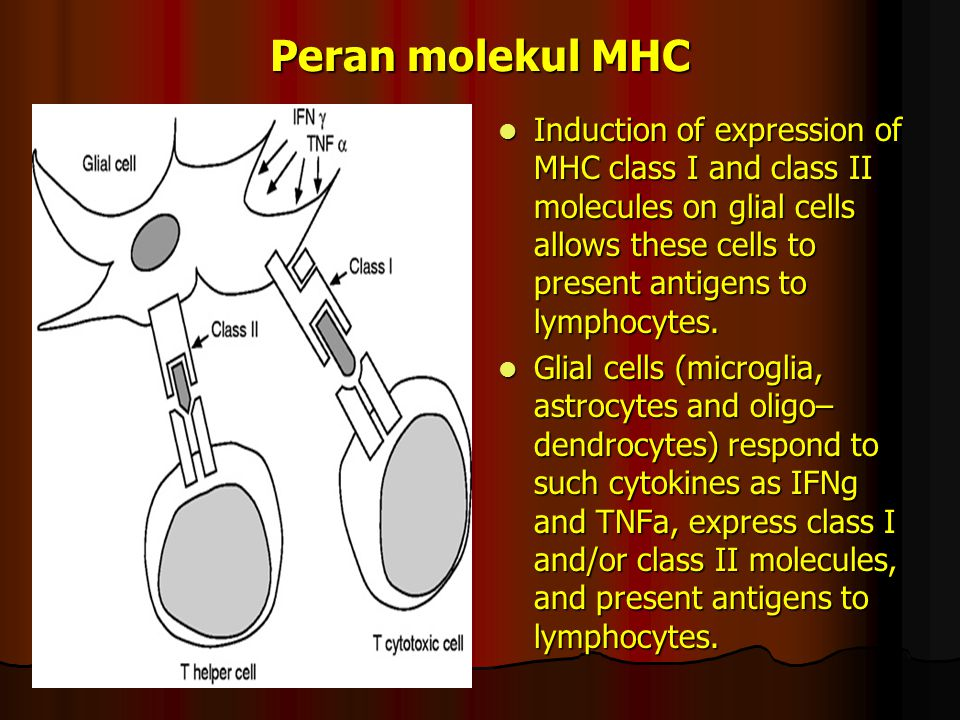 Peran molekul MHC Induction of expression of MHC class I and class II molecules on glial cells allows these cells to present antigens to lymphocytes.
