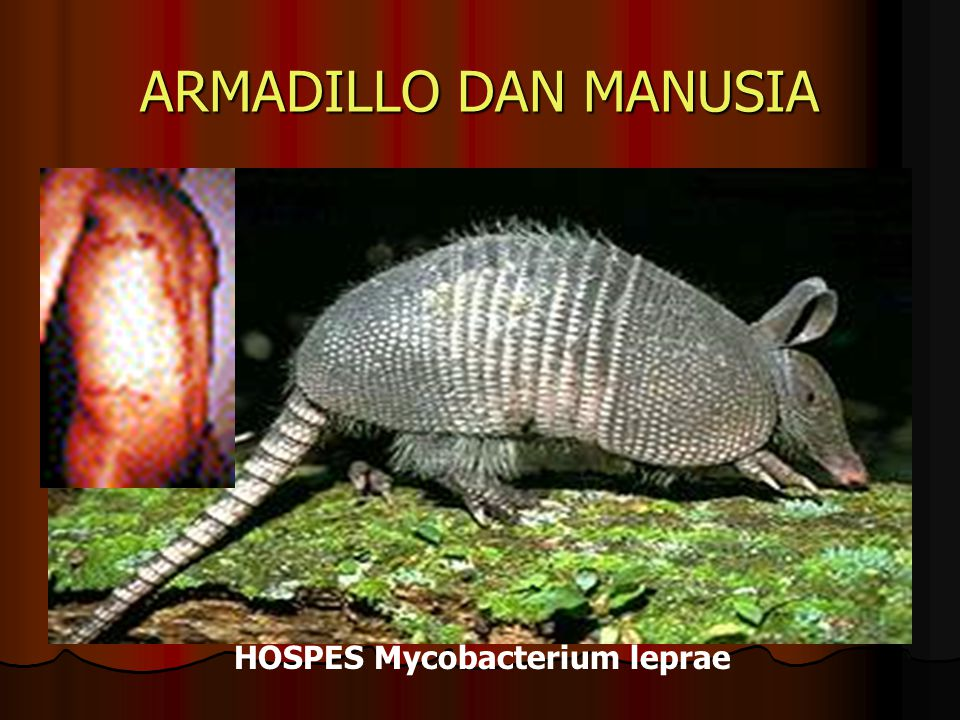 ARMADILLO DAN MANUSIA HOSPES Mycobacterium leprae