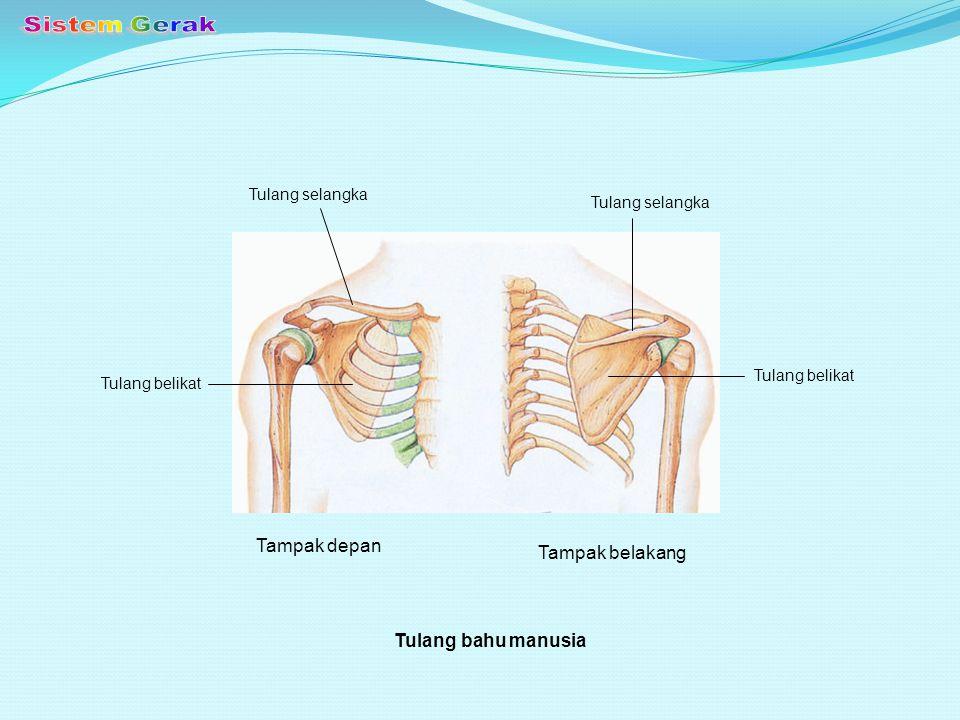 Sistem Gerak Tampak depan Tampak belakang Tulang bahu manusia