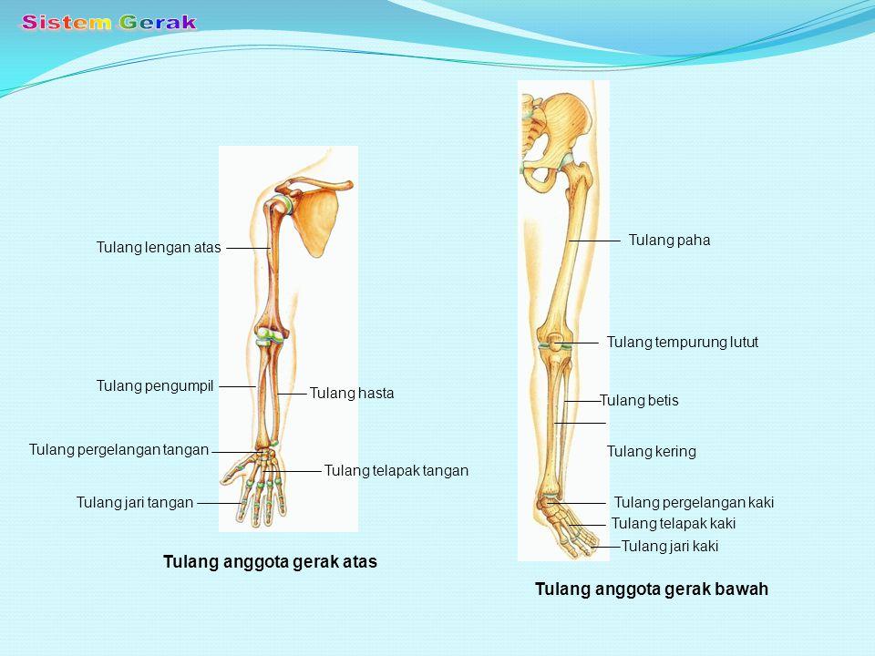 Sistem Gerak Tulang anggota gerak atas Tulang anggota gerak bawah