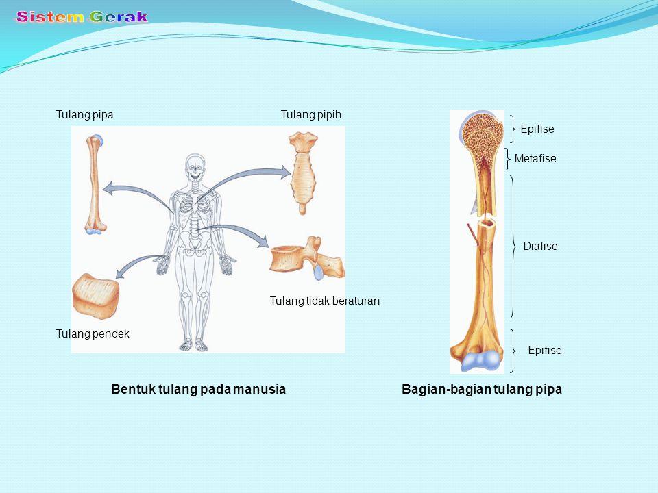 Sistem Gerak Bentuk tulang pada manusia Bagian-bagian tulang pipa