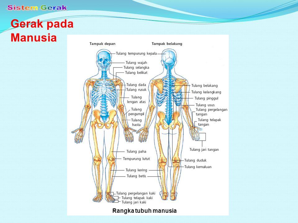 Sistem Gerak Gerak pada Manusia Rangka tubuh manusia