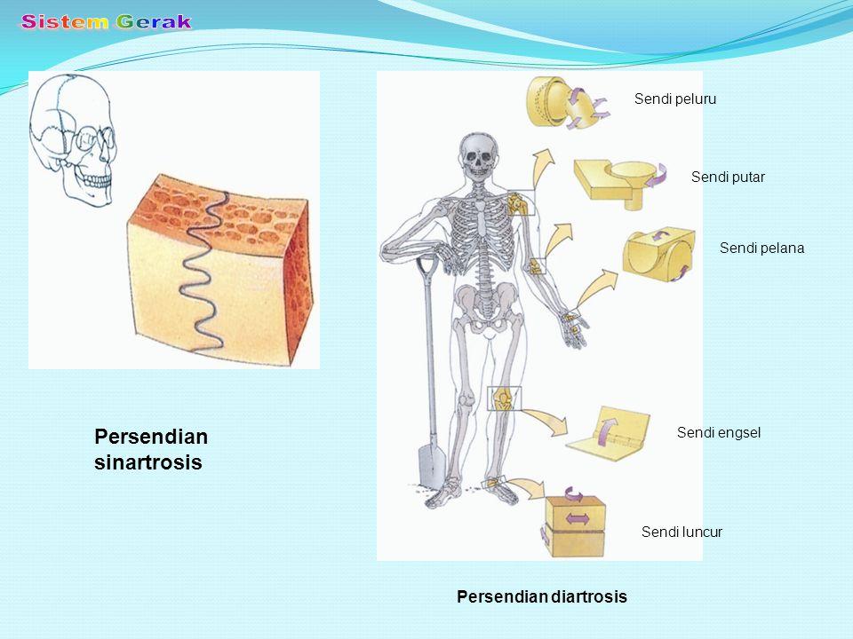 Sistem Gerak Persendian sinartrosis Persendian diartrosis Sendi peluru