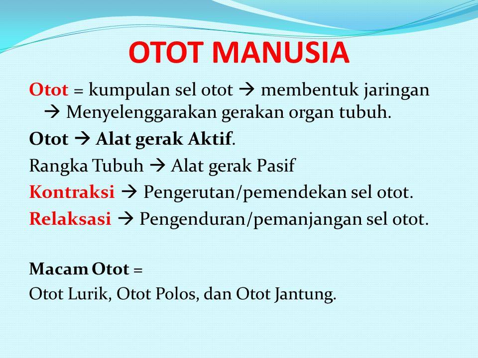 OTOT MANUSIA Otot = kumpulan sel otot  membentuk jaringan  Menyelenggarakan gerakan organ tubuh. Otot  Alat gerak Aktif.