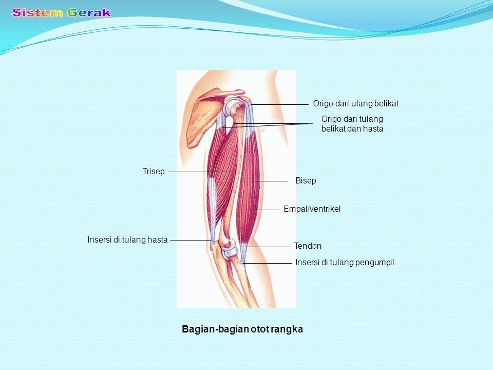 Sistem Gerak Bagian-bagian otot rangka Origo dari ulang belikat