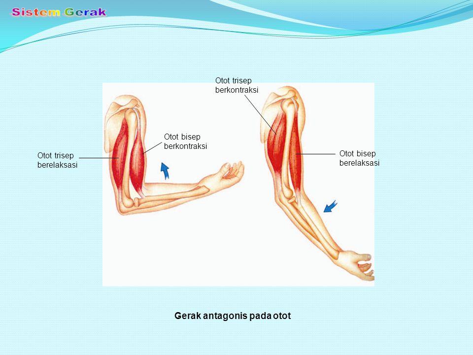 Sistem Gerak Gerak antagonis pada otot Otot trisep berkontraksi