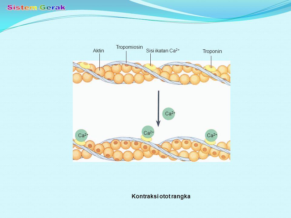 Sistem Gerak Kontraksi otot rangka Tropomiosin Aktin Sisi ikatan Ca2+