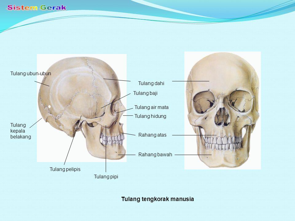 Sistem Gerak Tulang tengkorak manusia Tulang ubun-ubun Tulang dahi