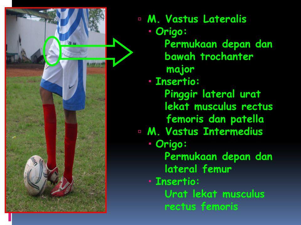 M. Vastus Lateralis Origo : Permukaan depan dan. bawah trochanter. major. Insertio: Pinggir lateral urat.