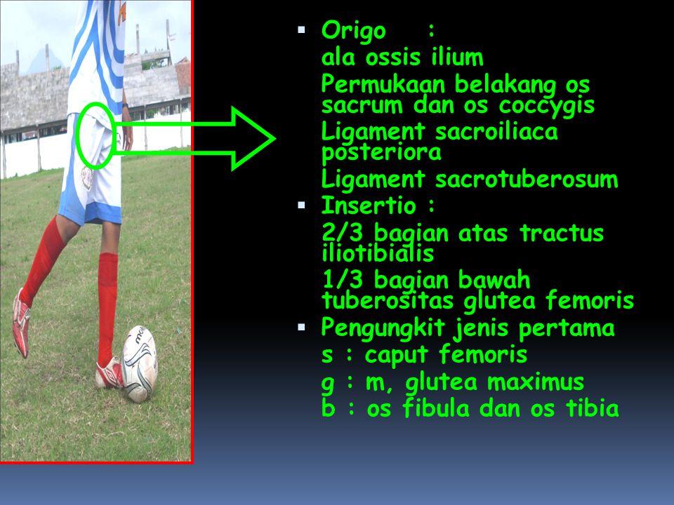 Origo : ala ossis ilium. Permukaan belakang os sacrum dan os coccygis. Ligament sacroiliaca posteriora.