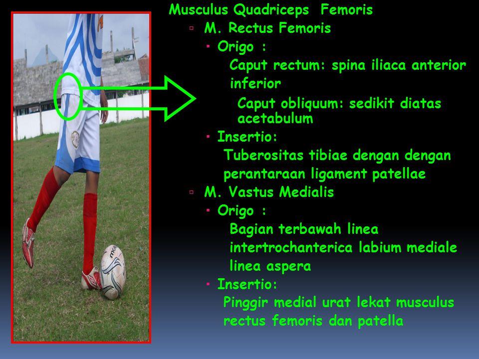 Musculus Quadriceps Femoris