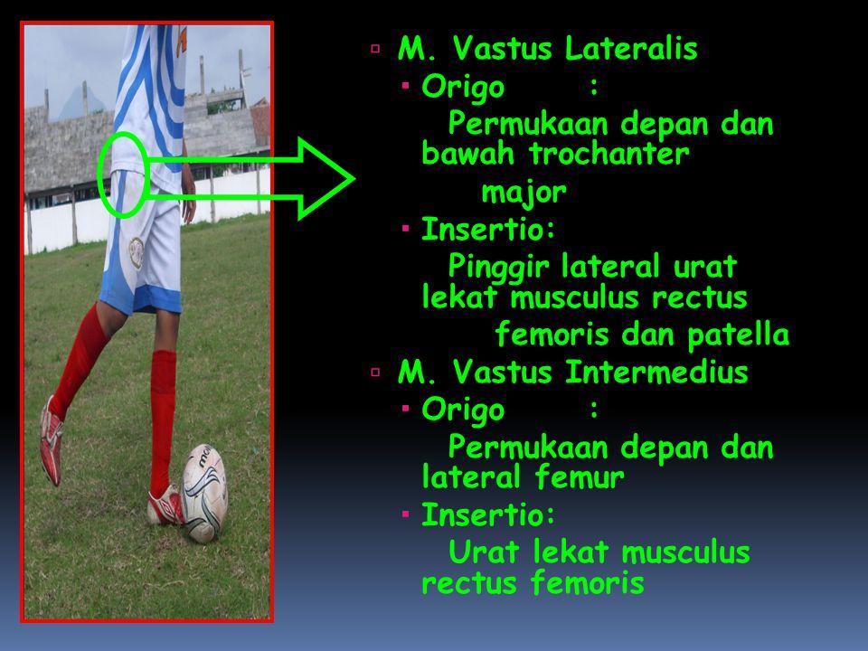 M. Vastus Lateralis Origo : Permukaan depan dan bawah trochanter. major. Insertio: Pinggir lateral urat lekat musculus rectus.