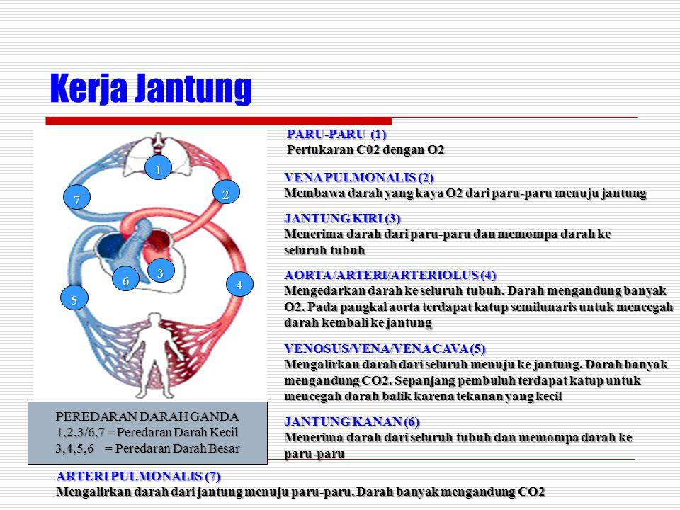 Kerja Jantung PARU-PARU (1) Pertukaran C02 dengan O2 1