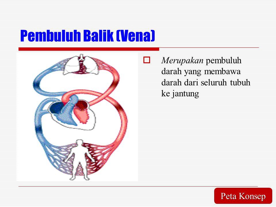Pembuluh Balik (Vena) Merupakan pembuluh darah yang membawa darah dari seluruh tubuh ke jantung.