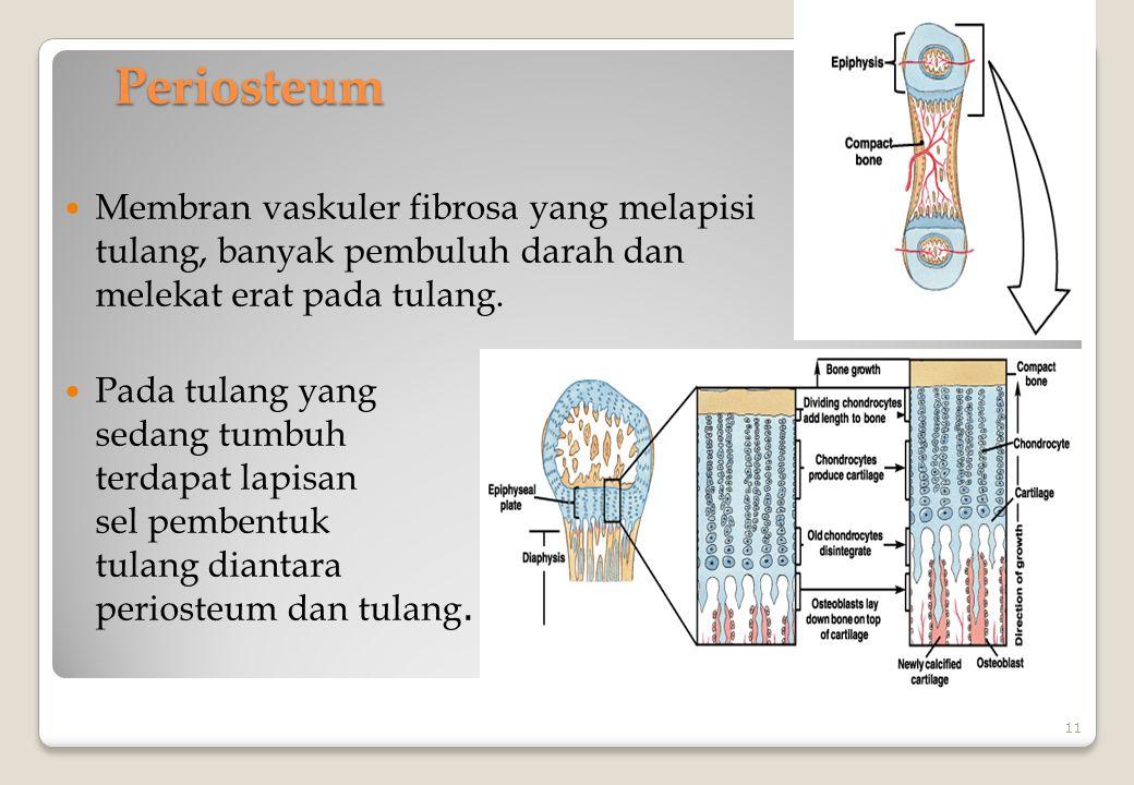 Periosteum Membran vaskuler fibrosa yang melapisi tulang, banyak pembuluh darah dan melekat erat pada tulang.