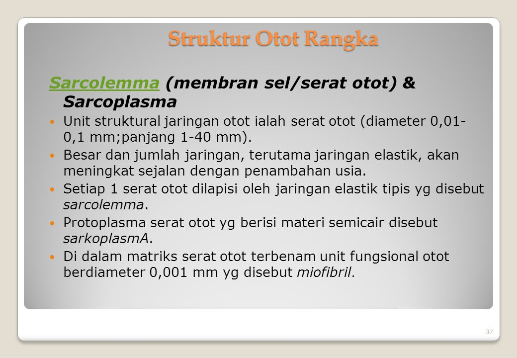 Struktur Otot Rangka Sarcolemma (membran sel/serat otot) & Sarcoplasma