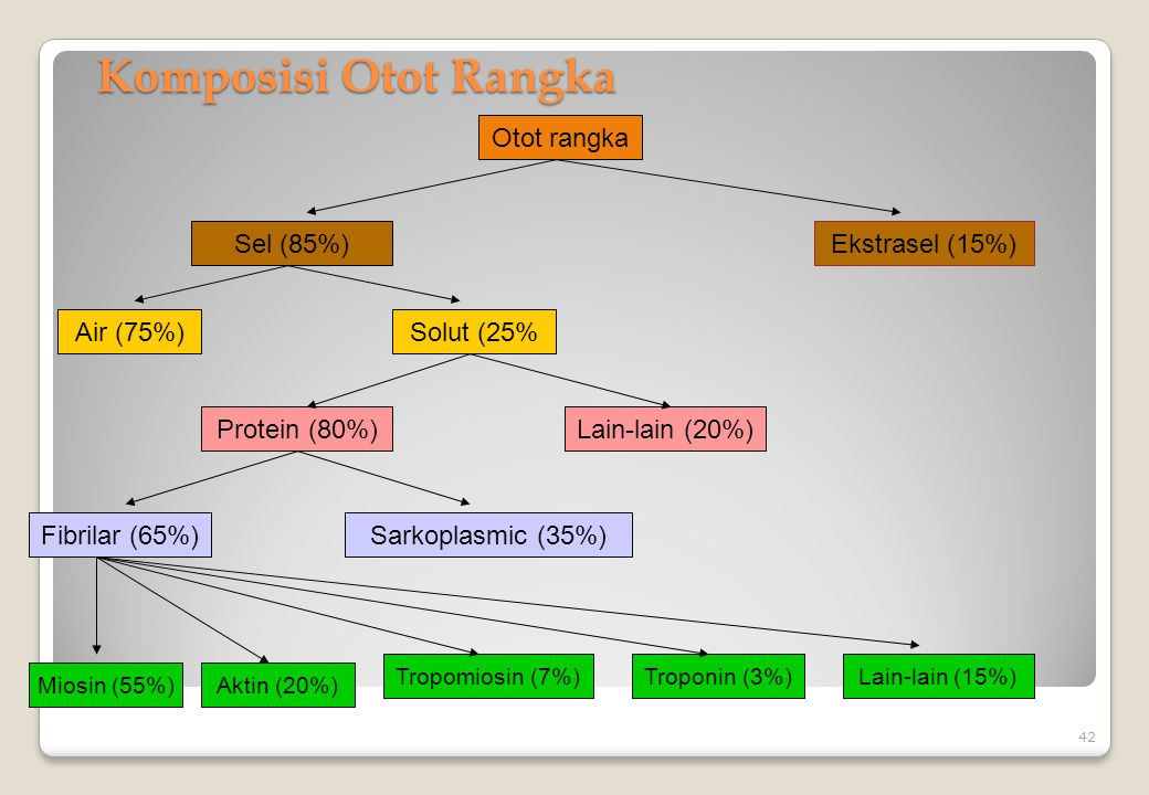 Komposisi Otot Rangka Otot rangka Sel (85%) Ekstrasel (15%) Air (75%)