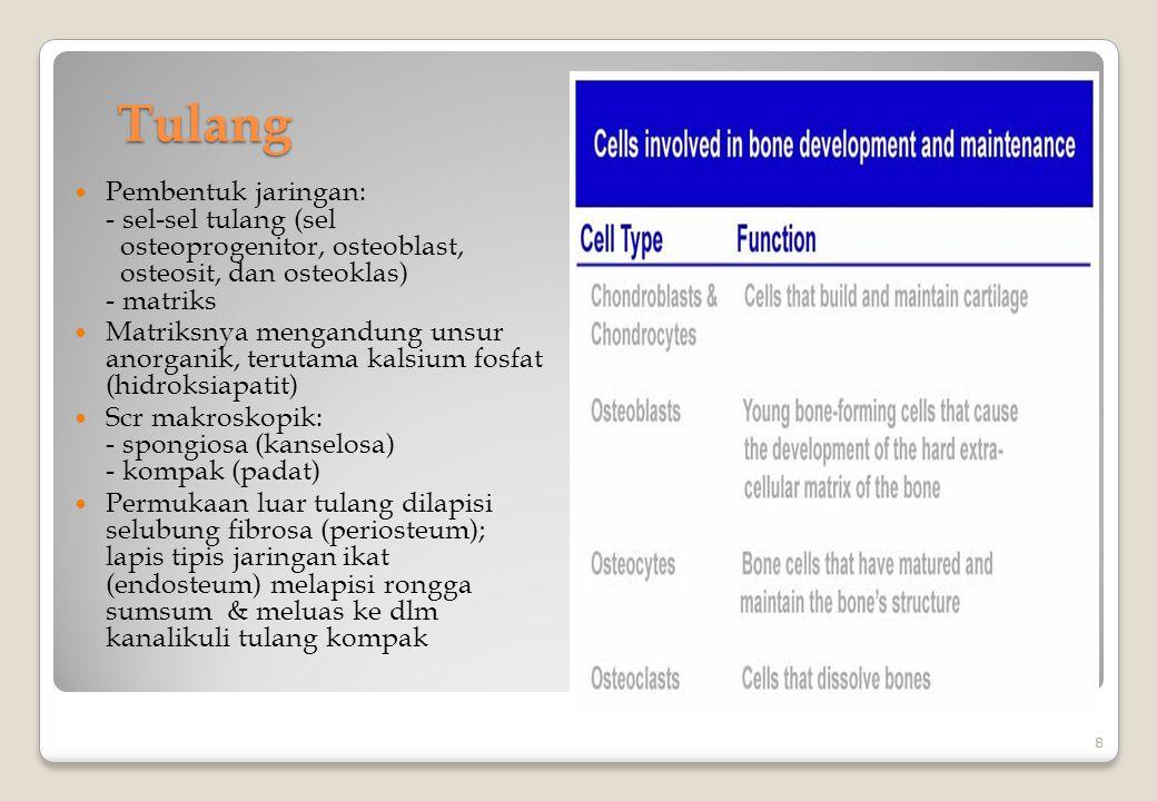 Tulang Pembentuk jaringan: - sel-sel tulang (sel osteoprogenitor, osteoblast, osteosit, dan osteoklas) - matriks.