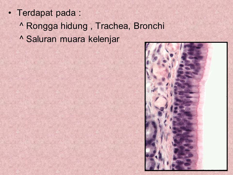 Terdapat pada : ^ Rongga hidung , Trachea, Bronchi ^ Saluran muara kelenjar