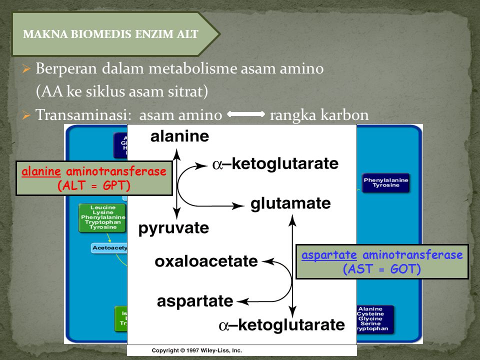 Berperan dalam metabolisme asam amino (AA ke siklus asam sitrat)