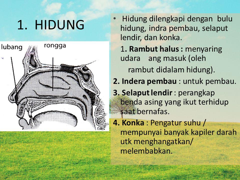 1. HIDUNG Hidung dilengkapi dengan bulu hidung, indra pembau, selaput lendir, dan konka. 1. Rambut halus : menyaring udara ang masuk (oleh.