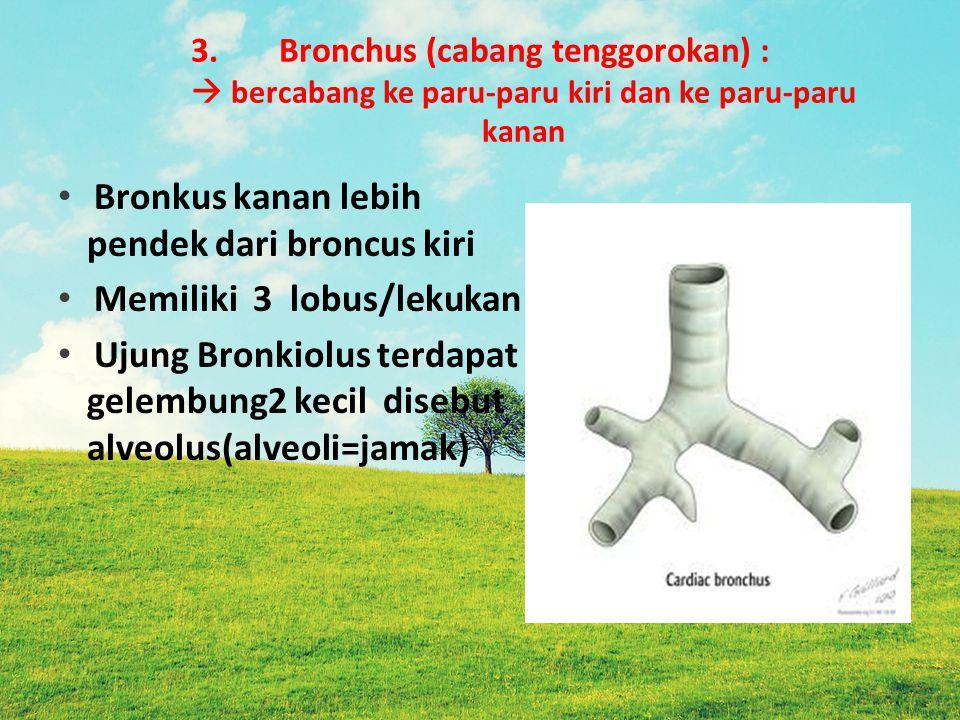 Bronkus kanan lebih pendek dari broncus kiri Memiliki 3 lobus/lekukan