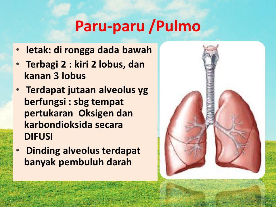 Paru-paru /Pulmo letak: di rongga dada bawah