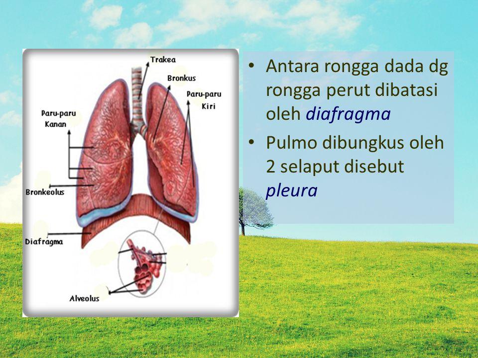 Antara rongga dada dg rongga perut dibatasi oleh diafragma