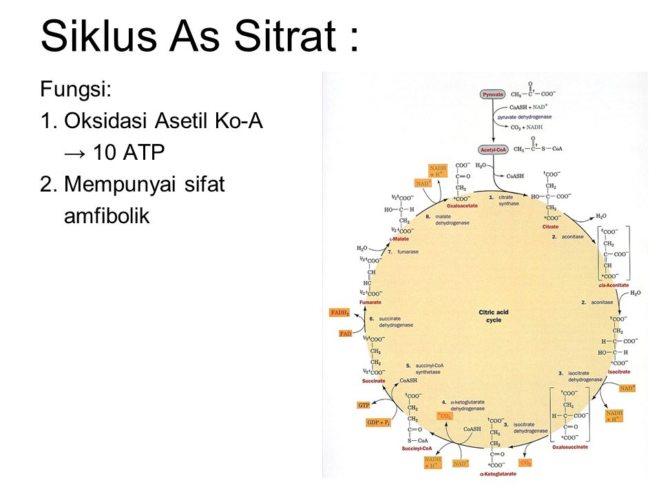 Siklus As Sitrat : Fungsi: 1. Oksidasi Asetil Ko-A → 10 ATP