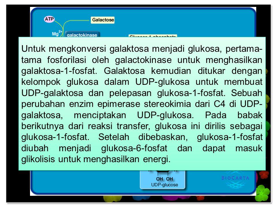 Untuk mengkonversi galaktosa menjadi glukosa, pertama-tama fosforilasi oleh galactokinase untuk menghasilkan galaktosa-1-fosfat.