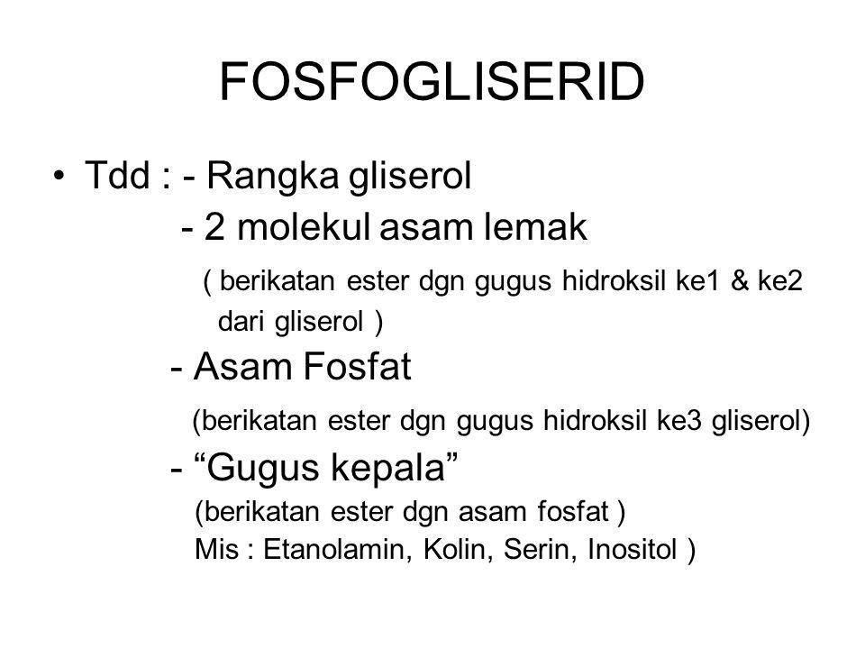 FOSFOGLISERID Tdd : - Rangka gliserol - 2 molekul asam lemak