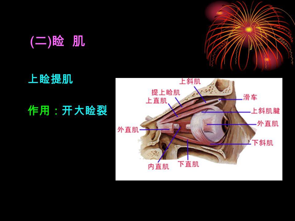 (二)睑 肌 上睑提肌 作用:开大睑裂