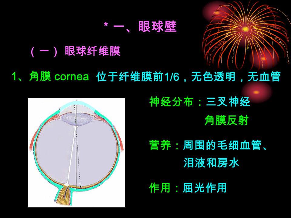 * 一、眼球壁 (一) 眼球纤维膜 1、角膜 cornea 位于纤维膜前1/6,无色透明,无血管 神经分布:三叉神经 角膜反射